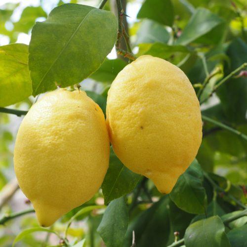 Limoni Siciliani Biologici Vendita Online