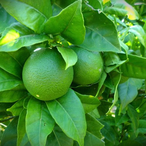 Lime siciliani Biologici