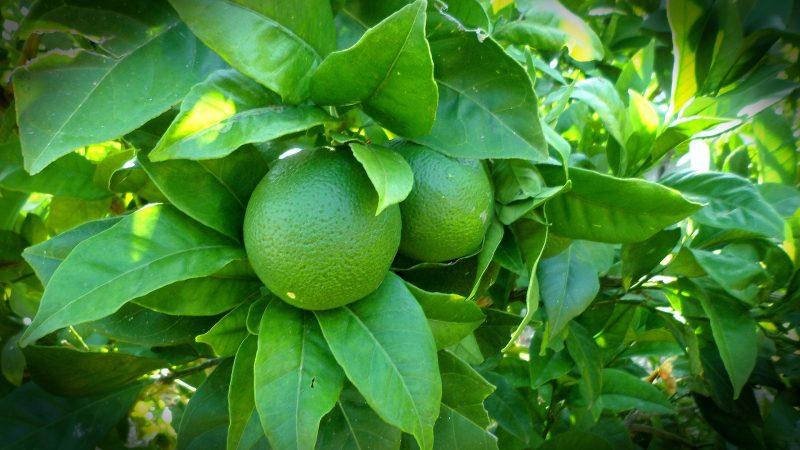 Lime siciliani Biologici