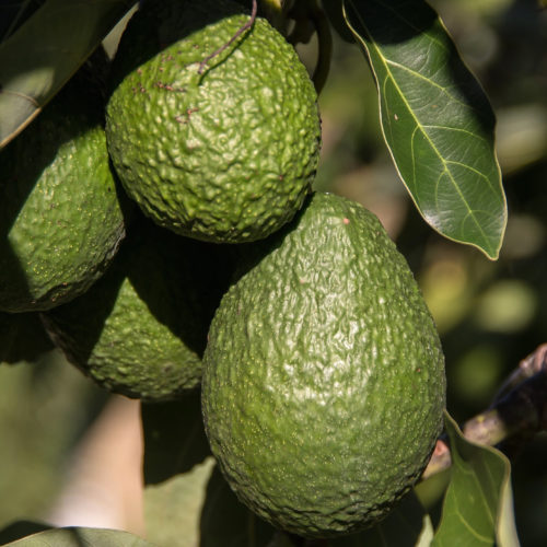 Avocado Siciliani Biologici