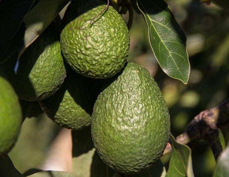 Avocado Siciliani Biologici
