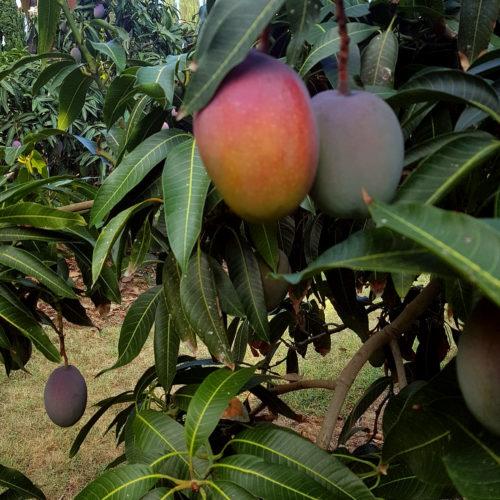 Mango siciliano biologico