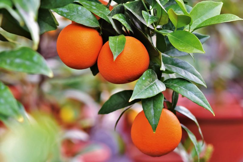 arance Siciliane Navelina biologiche da spremuta