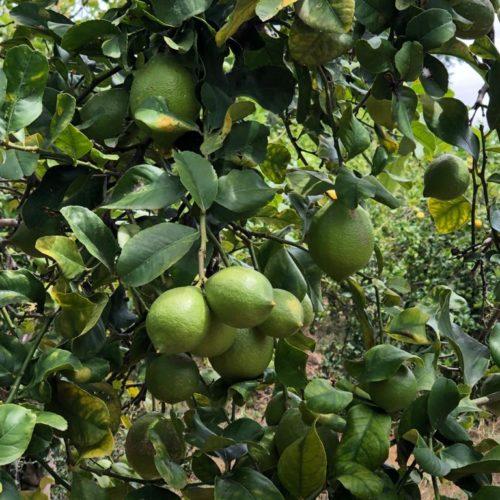 limoni Verdelli siciliani Biologici