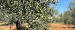 Olio Extra Vergine d'Oliva Siciliano Fasi di produzione